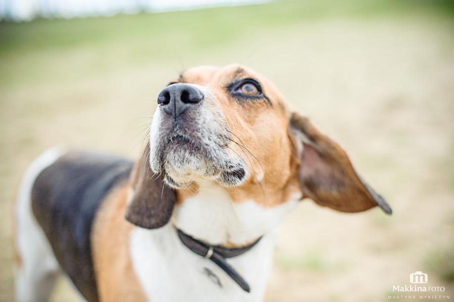 beagle_06
