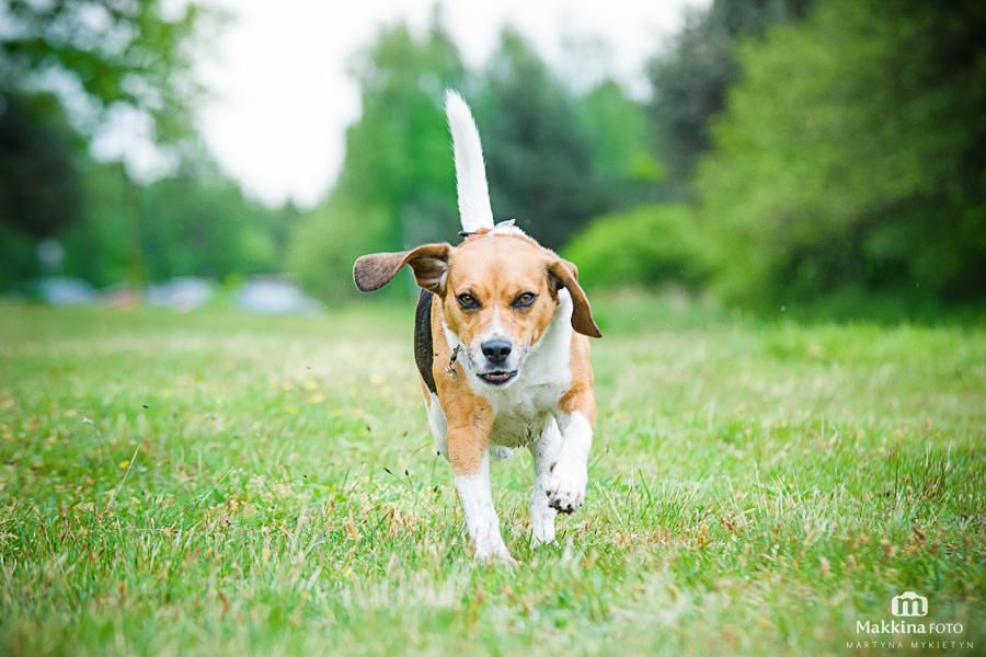 beagle_08