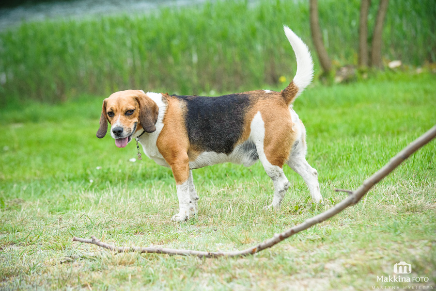 beagle_11