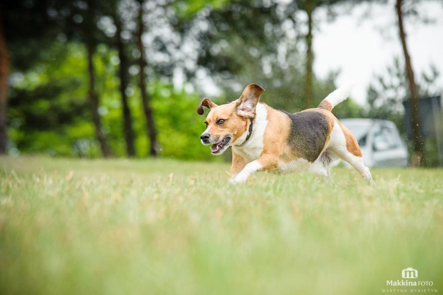 beagle_12