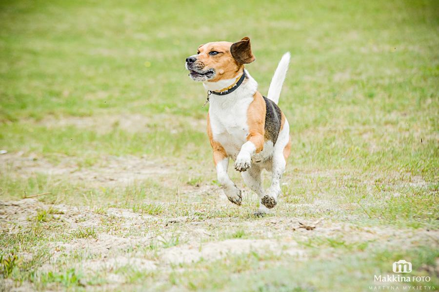 beagle_13